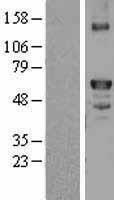 NBL1-10402 - Factor X Lysate