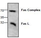 NBP1-45557 - CD178 / Fas Ligand