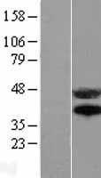 NBL1-10599 - Fas Lysate