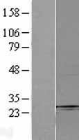 NBL1-10632 - Fbx32 Lysate