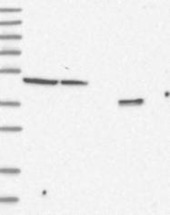 NBP1-83920 - FBXL8