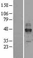 NBL1-10650 - Fc epsilon RI Lysate
