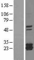 NBL1-10852 - Ferritin mitochondrial Lysate