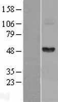 NBL1-10708 - Fibrinogen gamma chain Lysate