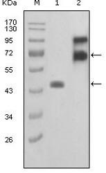 NBP1-28889 - Fibulin-2