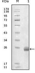 NBP1-28890 - Fibulin-5