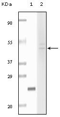 NBP1-47496 - Fibulin-5
