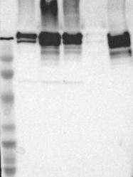 NBP1-90283 - Filamin-A