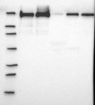 NBP1-90286 - Filamin-B