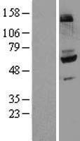 NBL1-10777 - Flavin containing monooxygenase 4 Lysate