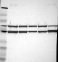NBP1-84910 - Flotillin-2 / FLOT2