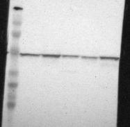 NBP1-87498 - Flotillin-1 / FLOT1