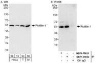 NBP1-79022 - Flotillin-1 / FLOT1