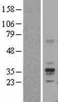 NBL1-10790 - Folate Binding Protein Lysate