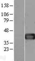 NBL1-10846 - Follistatin Lysate