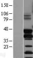 NBL1-10795 - Fos B Lysate
