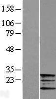 NBL1-10871 - Frataxin Lysate