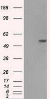 NBP1-47754 - Fumarase