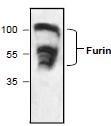 NBP1-45580 - Furin