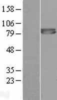 NBL1-10860 - Furin Lysate