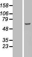 NBL1-10885 - Fyn Lysate