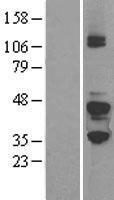 NBL1-11163 - G Protein alpha z Lysate