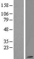 NBL1-11172 - G gamma12 Lysate