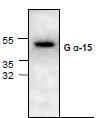 NBP1-45582 - G protein alpha 15