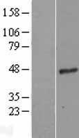 NBL1-11154 - G protein alpha 16 Lysate