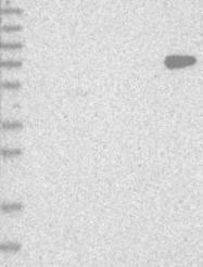 NBP1-89752 - Protein ALEX