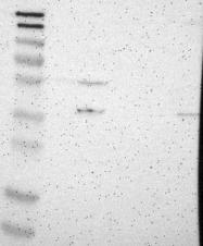 NBP1-89771 - G protein alpha Inhibitor 2