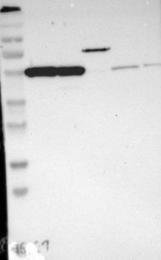 NBP1-89810 - G protein alpha 13