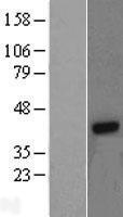 NBL1-11168 - G protein beta 4 Lysate