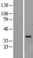 NBL1-10995 - G protein beta subunit like Lysate