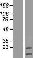 NBL1-09518 - G-CSF Lysate