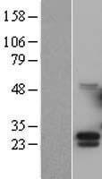 NBL1-09519 - G-CSF Lysate