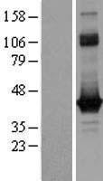 NBL1-11158 - G0 Protein alpha Lysate