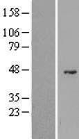 NBL1-10897 - G6PC2 Lysate