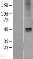 NBL1-10915 - GABA A Receptor alpha 1 Lysate