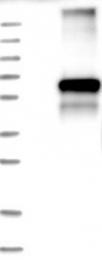 NBP1-87499 - GABRA3