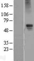 NBL1-10918 - GABA A Receptor alpha 5 Lysate