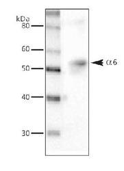 NB300-196 - GABAA Receptor alpha 6