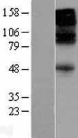 NBL1-10922 - GABA A Receptor beta 3 Lysate