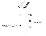 NBP1-28661 - GABRG2
