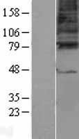 NBL1-10929 - GABA A Receptor gamma 3 Lysate