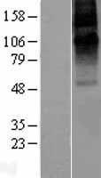 NBL1-10924 - GABA Receptor Epsilon Lysate