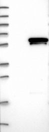 NBP1-84941 - GABPA