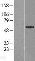NBL1-10911 - GABPA Lysate