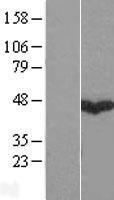 NBL1-10914 - GABPB1 Lysate