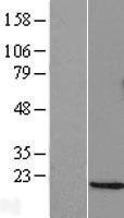 NBL1-09772 - GADD153 Lysate